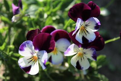 Pansies are available in a wide range of colors.