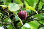 Plums and plumcots range in color from yellow or green to purple.