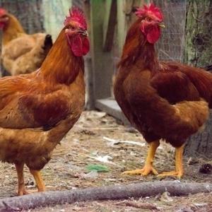 Medium chickens