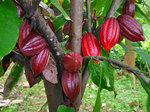 Cocoa futures extend losses, after weak North American grind data