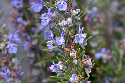 Rosemary is one of the easiest herbs to grow.