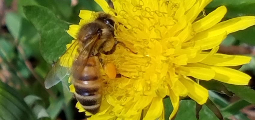A honey bee collects pollen
