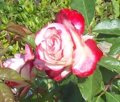 Roses make a wonderfully fragrant and colorful addition to any outdoor living space.