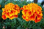 Marigolds add bright, long-lasting color to the fall garden.