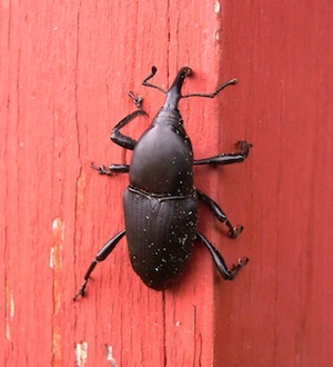 Syngenta announced Tuesday it had update its WeevilTrak, an online monitoring tool to track the annual bluegrass weevil beetle.