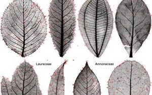 Computers now are able to discern differences in leaves.