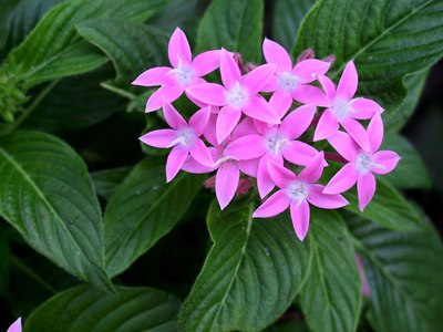 Pentas are a favorite in the Austin area, and are relatively easy to raise as well.