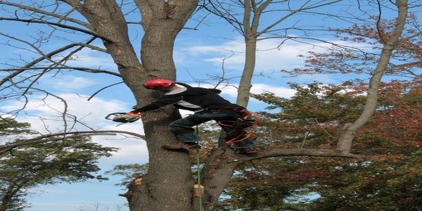 Large treetrimming