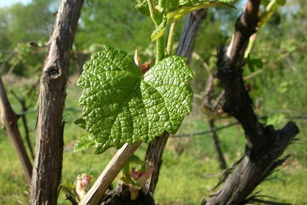 Prune grapevines severely to encourage new growth.