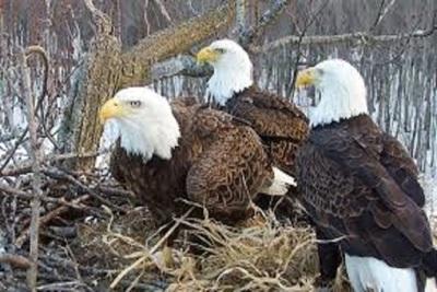 Medium eaglesbald