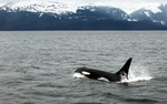 Tara Stevens studied behavior of the orcas, which are seen mostly around Newfoundland and Labrador in the summer.