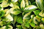 Keep ground covers thriving through summer with water and fertilizer.