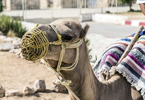 Two new studies explore containment options for camel-transmitted MERS.