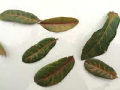 This is what oak wilt looks like on infected leaves.