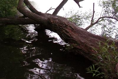 Medium fallentree