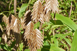 Inland Sea Oats are a great native substitute for tall grasses.