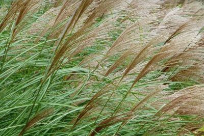 Plant sterile ornamental grass cultivars to prevent their spread.