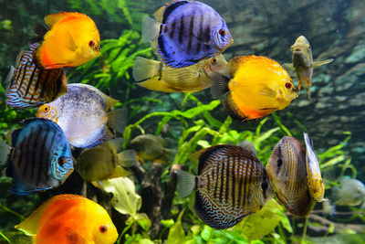An aquarium of happy fish is both a beautiful and claming amenity in a home.