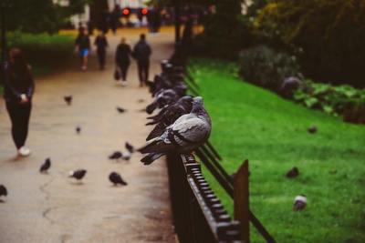 Medium pigeons