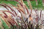 Purple fountain grass makes an attractive backdrop for smaller annuals and perennials.