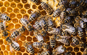 Honey bees play a critical role in supporting modern agricultural production.