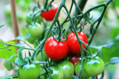In the market for some organic tomato plants? Sunshine Community Gardens will be selling 120 varieties of them on March 4.