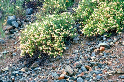 Mounds of blooming monkeyflower thrive in the porous scree that accumulates aT the base of an eroding cliff face.
