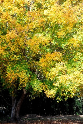 The Southern sugar maple is native from Florida to Texas, northward to Illinois.