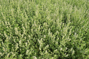 DuPont HCO is derived from the catmint plant (pictured).