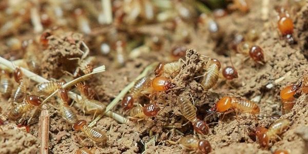 Large termites 3367347 1280