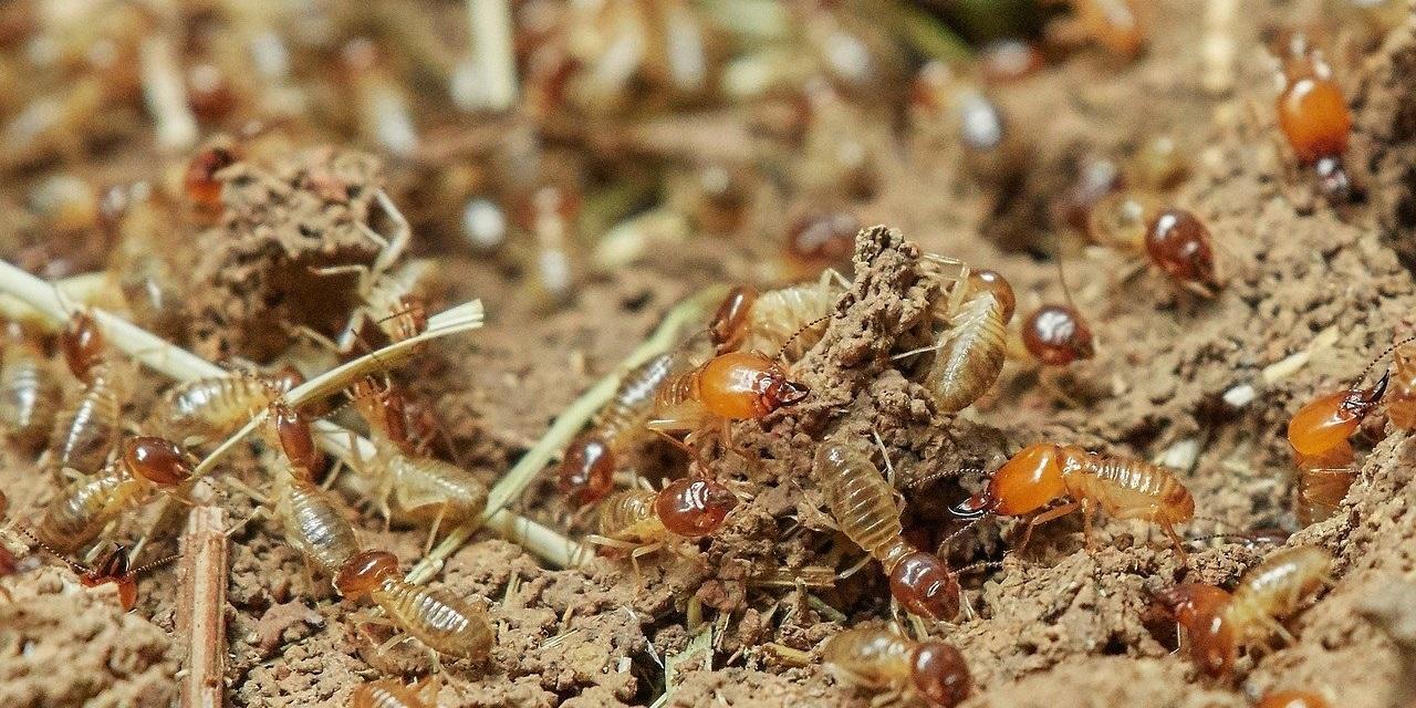Termites 3367347 1280
