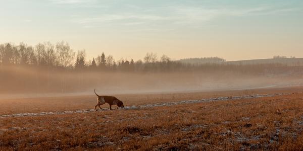 Large hunting dog