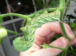Hornworms decimate the leaves and stems of tomatoes and their relatives.