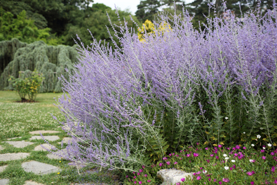 Russian sage is actually a plant native to Pakistan.