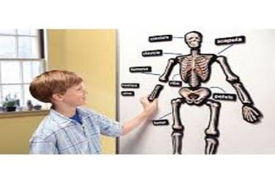 Medium skeleton