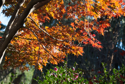 The Bloodgood yields some of the most dependable fiery fall colors in the Deep South.