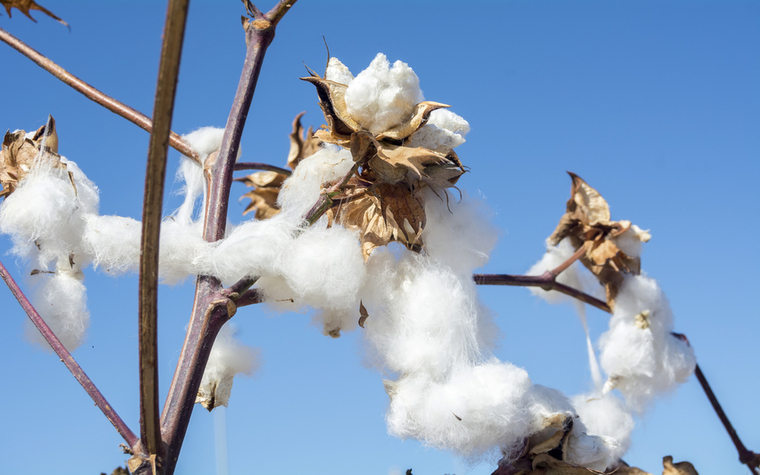 Upland cotton growers intend to plant 8.9 million acres this spring.