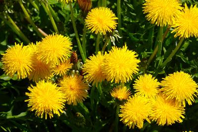 Many see dandelion as a weed to remove, but this plant does have medicinal uses.