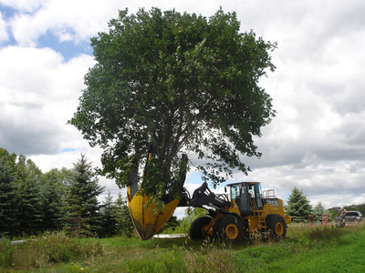 Today trees can often be moved and transplanted, but there are certain limitations.