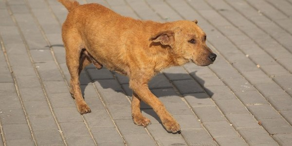 Large cuban dog