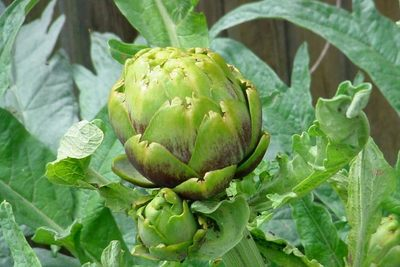Harvest the artichoke flower head before it blooms.