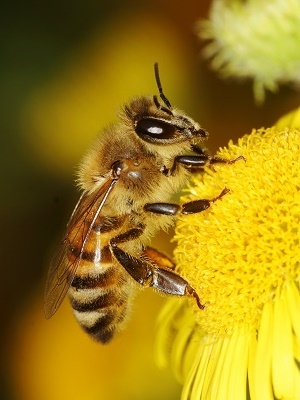 Monsanto research on GMO crops is aimed at protecting bees.