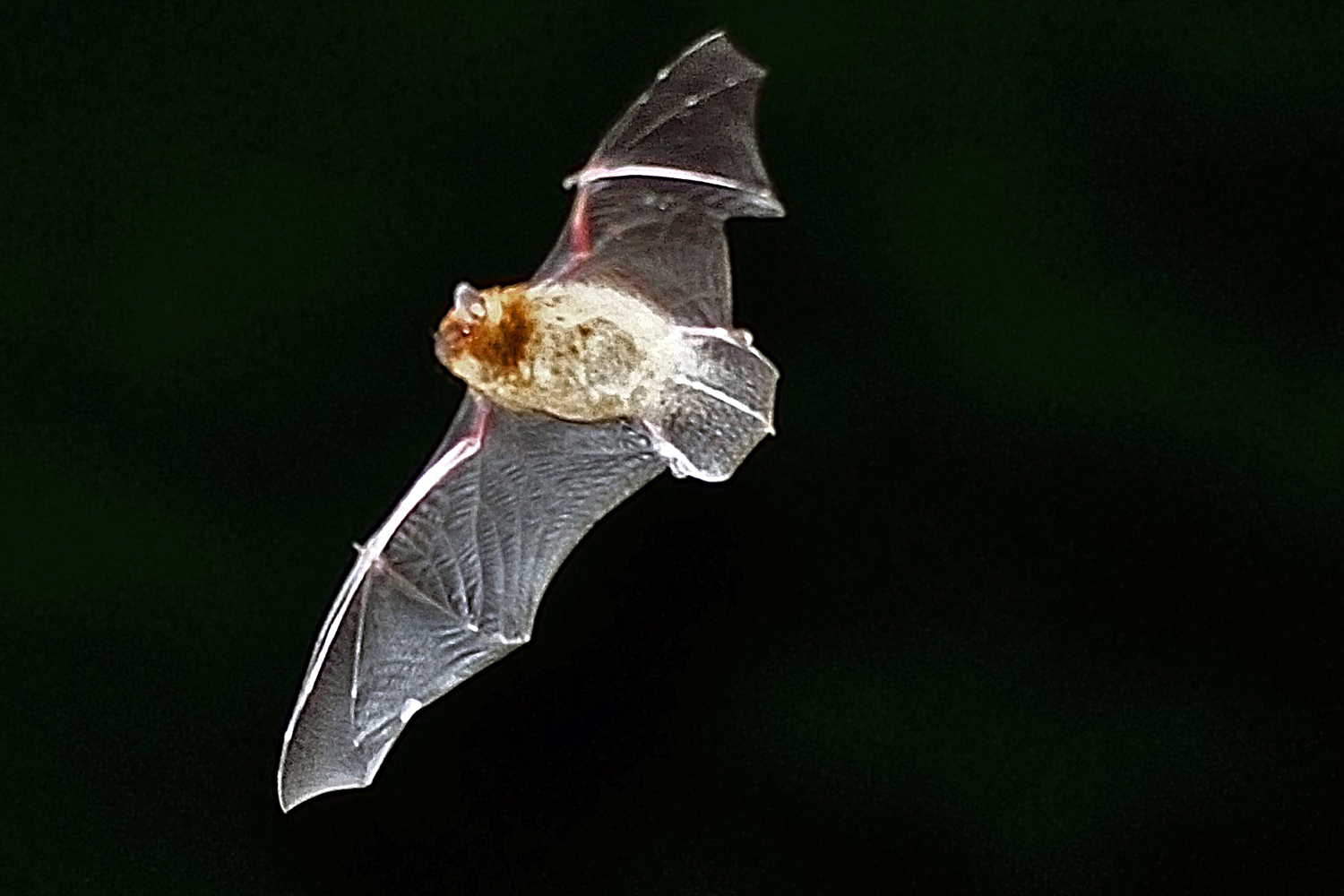 Bats can consume a large number of insects in areas where they are established.
