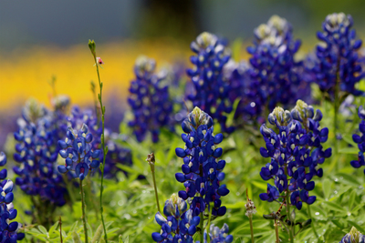 The Texas Hill COuntry, with its Bluebonnets and lush foliage, is a favored location for cruisers.