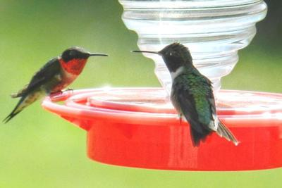 Hummingbirds rarely share a feeder; add extra feeders to accommodate migrating birds.