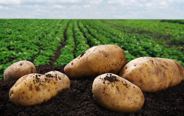 The fungicide protects potatoes from late blight caused by the oomycete Phytophthora infestans.