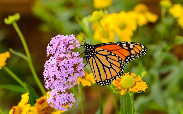 Monarch butterflies are pollinators that travel along the I-35 area.