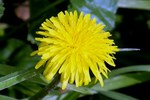 Deep-rooted dandelions are best pulled while young and small.