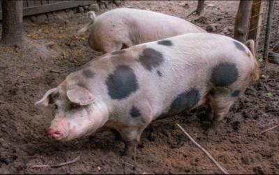 Medium hogs