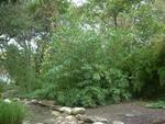 Bambusa oldhamii at the Taniguchi Japanese Garden